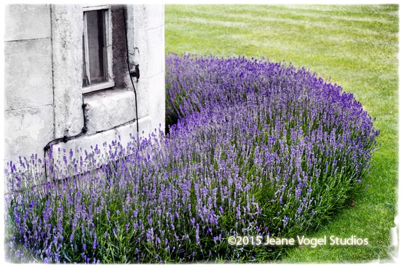 Lavender at the Tower