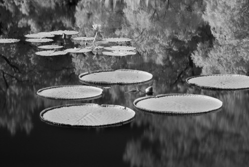 waterlillies2